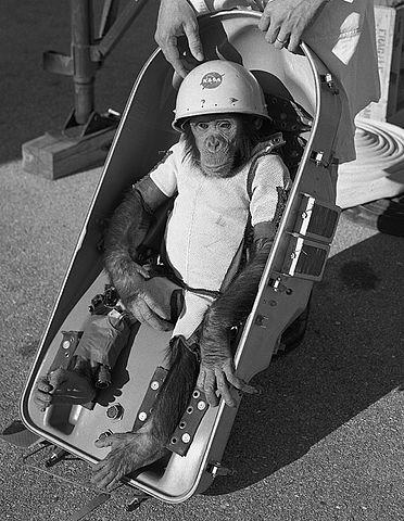 """Šimpanz Ham. Jeho jméno neznamená """"šunka"""", ale zkratku The Holloman Aerospace Medical Center, tedy laboratoře, která jej připravovala na let."""
