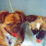 Čínští psi, Xiao Bao a Shan Shan zdroj:danielmarin.naukas.com