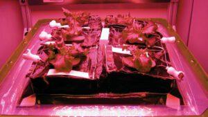 Salát vypěstovaný v kosmu v rámci experimentu Veg-01