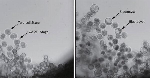 Embrya před a po - ke změně z dvoubuňkového shluku v blastocysty došlo během 80 hodin po startu