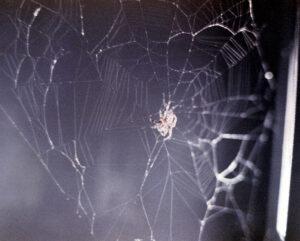 Jeden z prvních neumělých pokusů o tkaní sítě v podání pavoučka Arabelly
