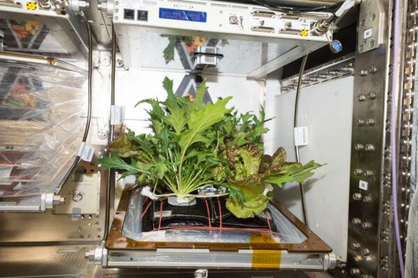 V zařízení Veggie rostly hned tři druhy plodin.