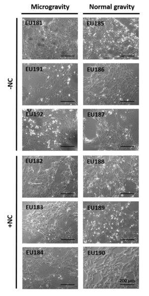 Snímky z mikroskopu porovnávají buňky kultivované na ISS a na Zemi.