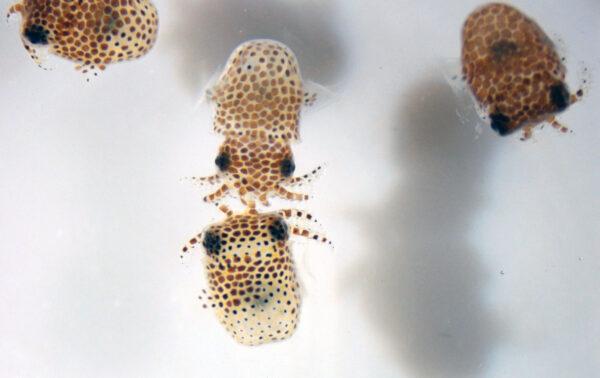 Mláďata sépií v mořské vodě.