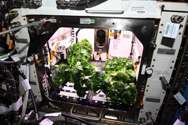 Že se na ISS dají pěstovat rostliny už jsme si zvykli. Fialové osvětlení vystřídalo bílé světlo a v zařízení Advanced Plant Habitat vyrostly papričky. To jsem ještě netušil, že jde o chilli. Zdroj: flickr.com